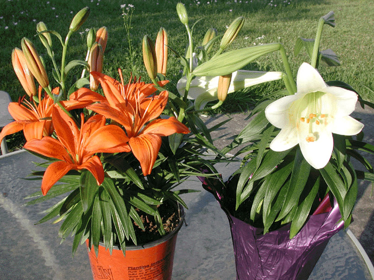 flowers pictures lilies. Flower - Easter Lily